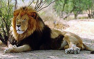 Сколько весит лев самец