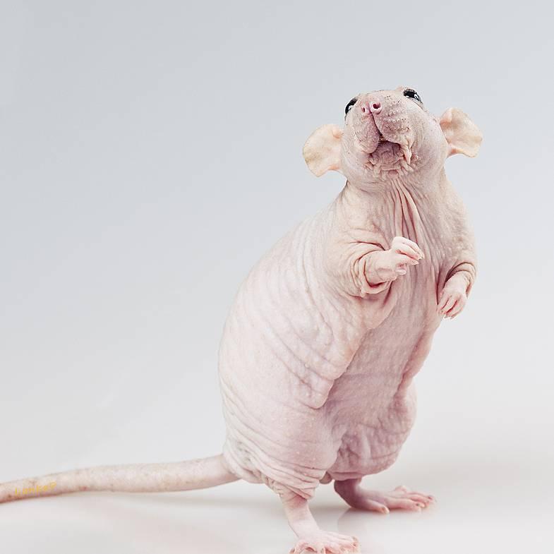 Виды домашних крыс