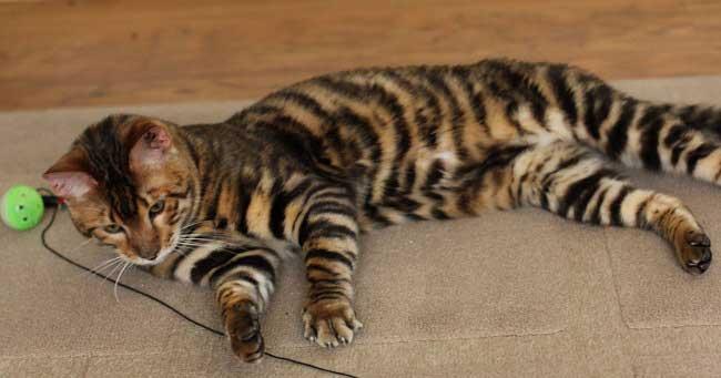 Тигровые котята фото