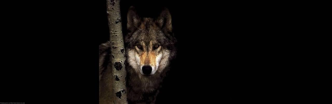 Наука о волках