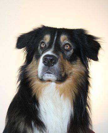 Аусси собака фото