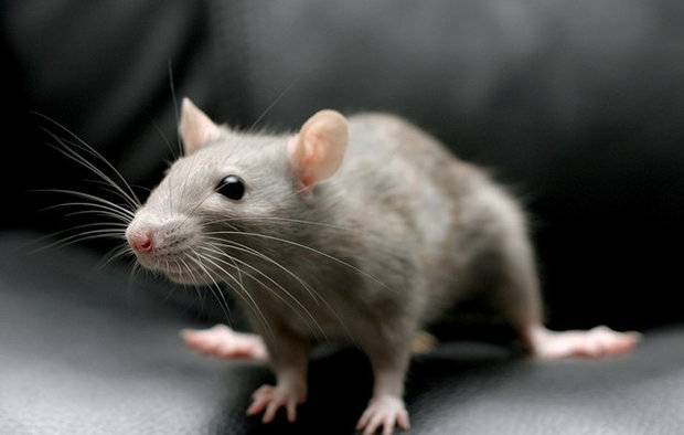 Чем питаются крысы в природе