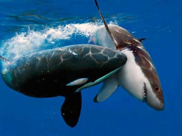 Сколько метров белая акула в длину