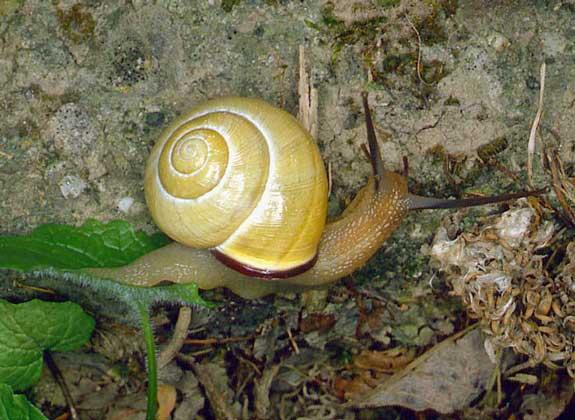 Сухопутные моллюски
