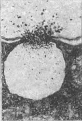 Клеточная оболочка у животных