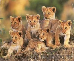 Как размножаются львы