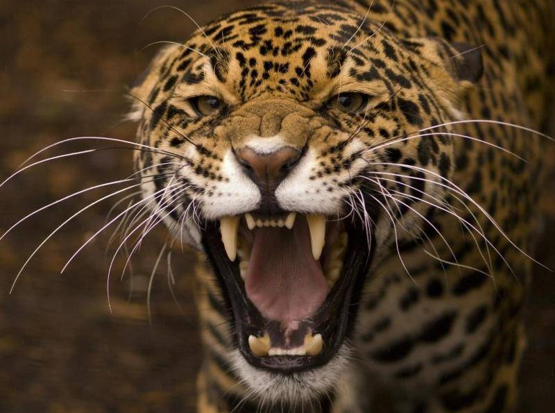 Где живет ягуар на каком материке