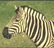 Что едят зебры