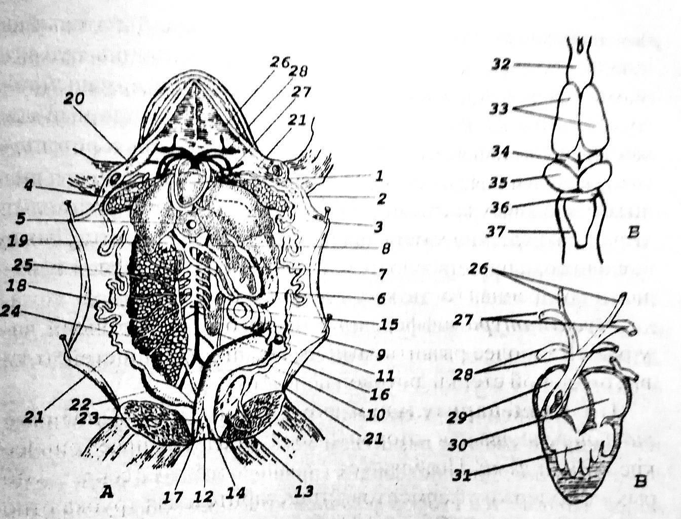 Тип земноводные