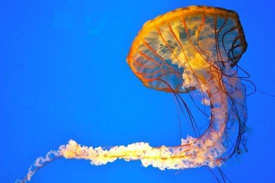 Названия медуз