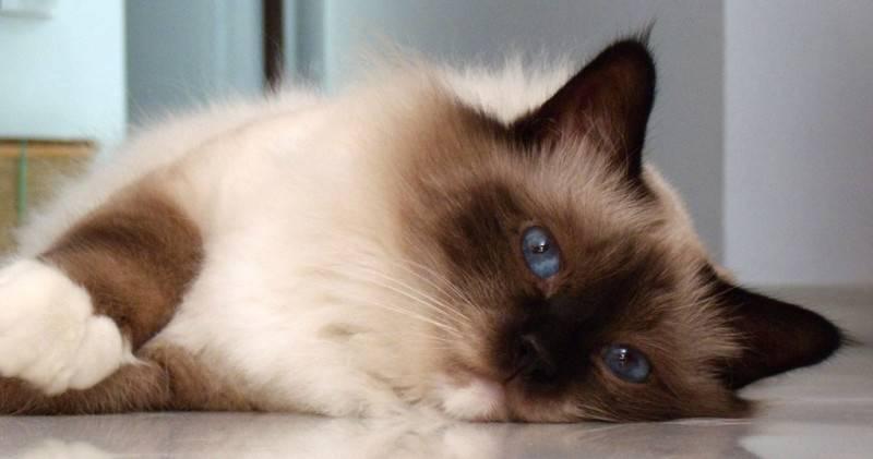 Самые добрые породы кошек для детей