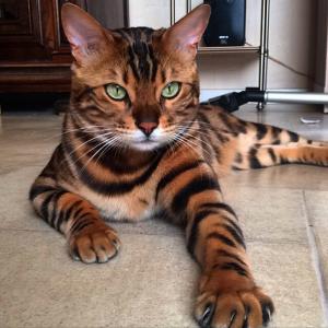 Тигровый кот фото