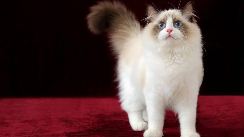 Бирманская кошка описание породы
