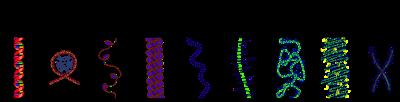 В состав хроматина ядра входит