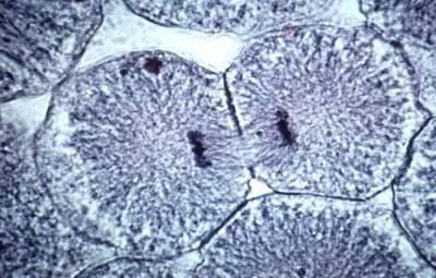 Фазы деления клетки митоз
