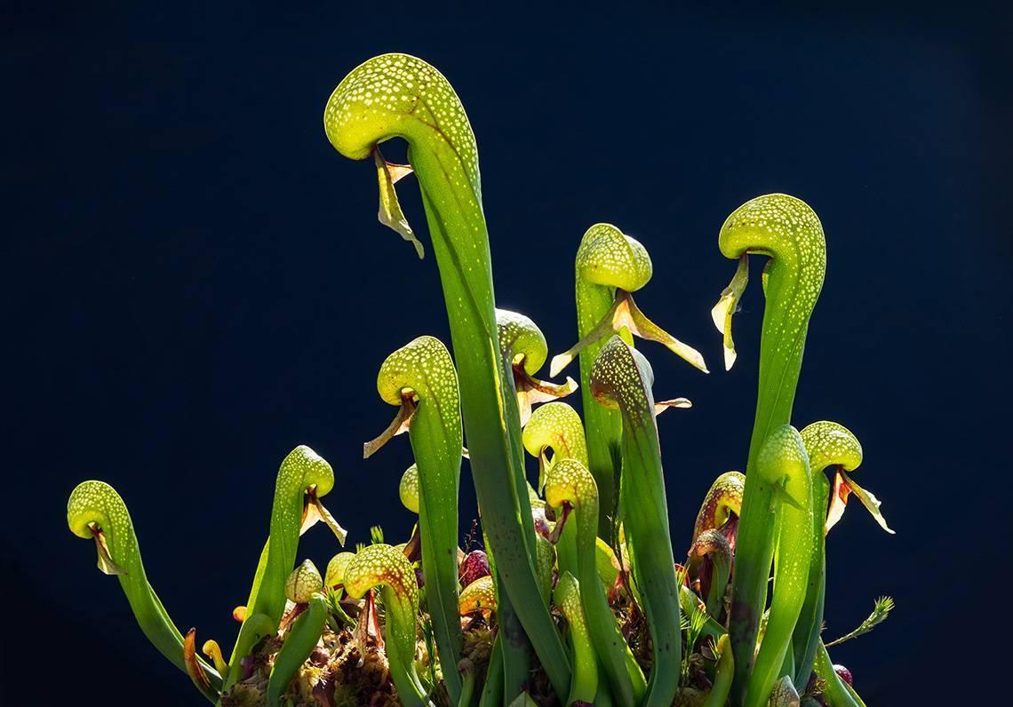 Плотоядные растения фото