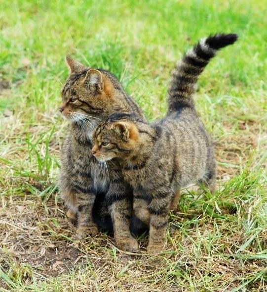 Картинки семейство кошачьих