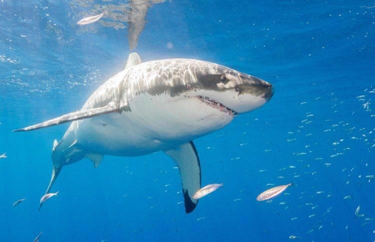 Сколько весит белая акула