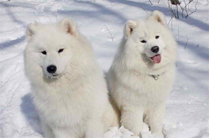 Породы собак белого цвета