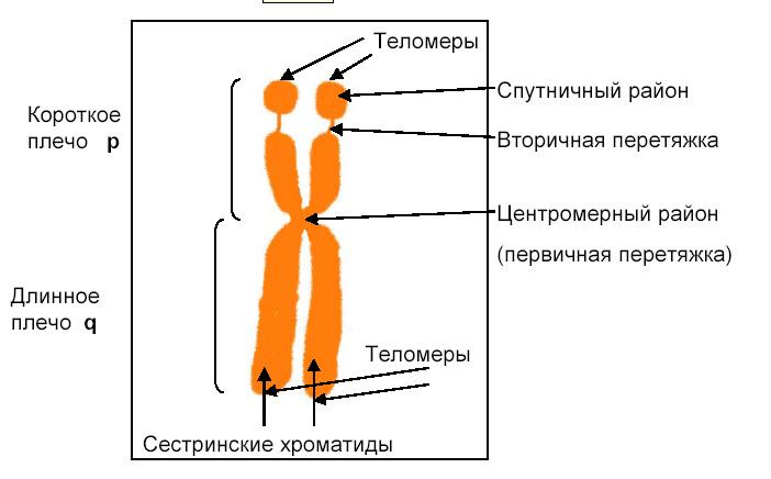 Период покоя клетки называется