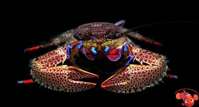 Морские ракообразные представители