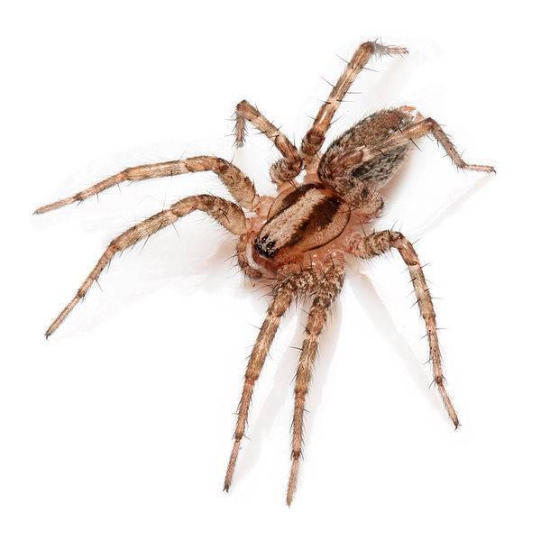 Как размножаются паукообразные