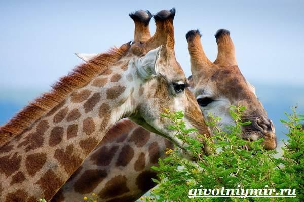 Жираф информация для детей