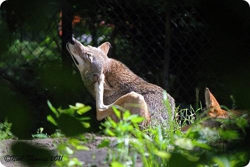 Рыжие волки картинки