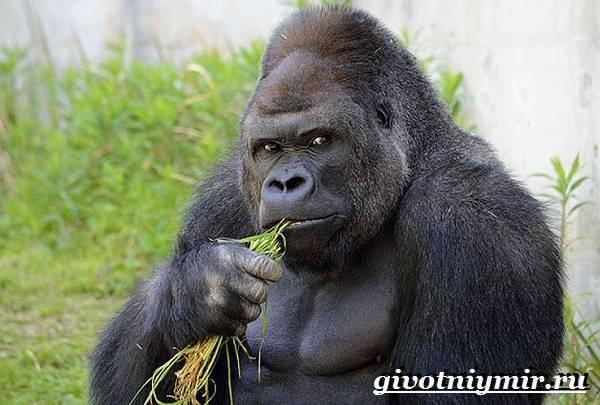 Чем питаются гориллы в природе