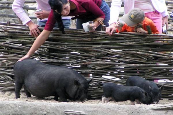 Свинья продолжительность жизни