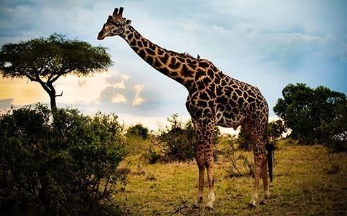 Самое высокое животное на земле