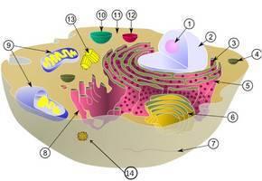 Перечислите основные органоиды клетки и их функции