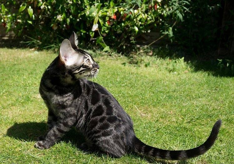 Бенгальская кошка домашняя