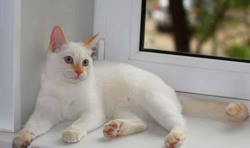 Тайские котята характер