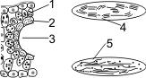 Роль световых реакций фотосинтеза состоит в