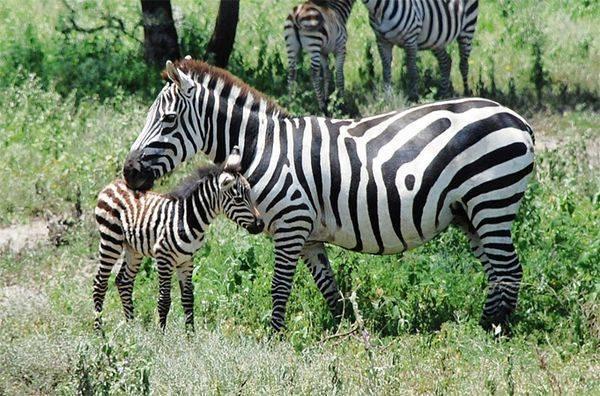 Цікаві факти про тварин африки