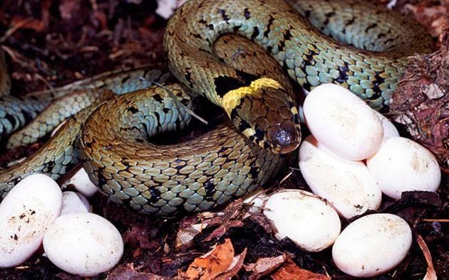 Как змеи откладывают яйца видео