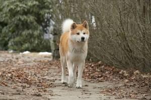Хатико какой породы собака