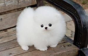 белая очень пушистая собака порода