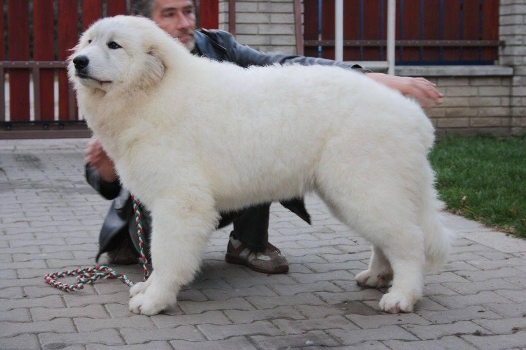 Порода белых пушистых собак