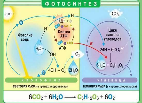 В темновой фазе фотосинтеза происходит реакция
