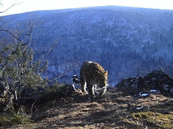 Сколько осталось дальневосточных леопардов