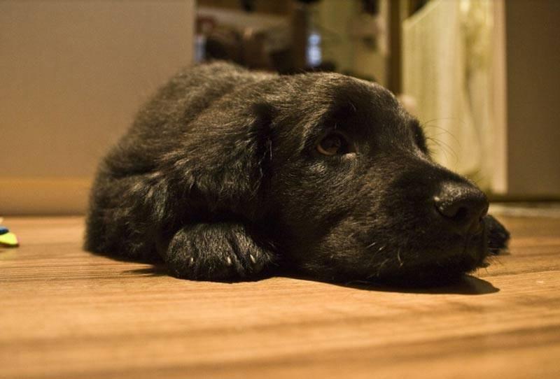 Идеальная порода собак для квартиры