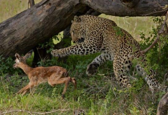 Амурский леопард картинки