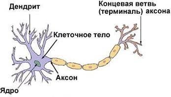 Деление животной клетки