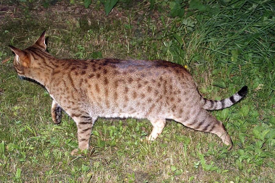 Кошка как тигр порода