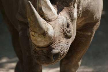 Что делают из рога носорога