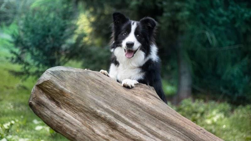Топ самых умных пород собак