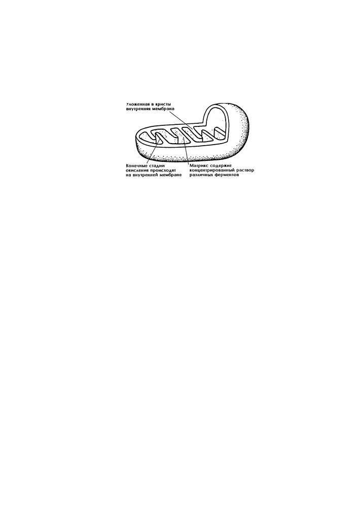 Митохондрии имеются в клетках