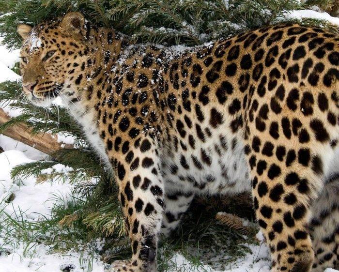 Леопард занесен в красную книгу